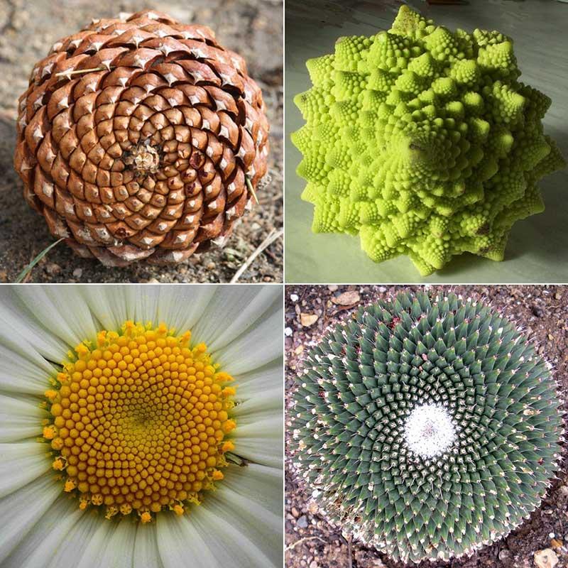 phyllotaxis-spirals